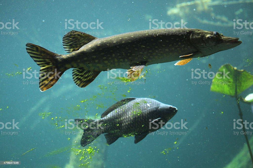 Northern pike (Esox lucius) and common carp (Cyprinus carpio). stock photo