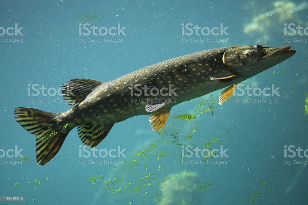 Northern pike (Esox lucius). stock photo