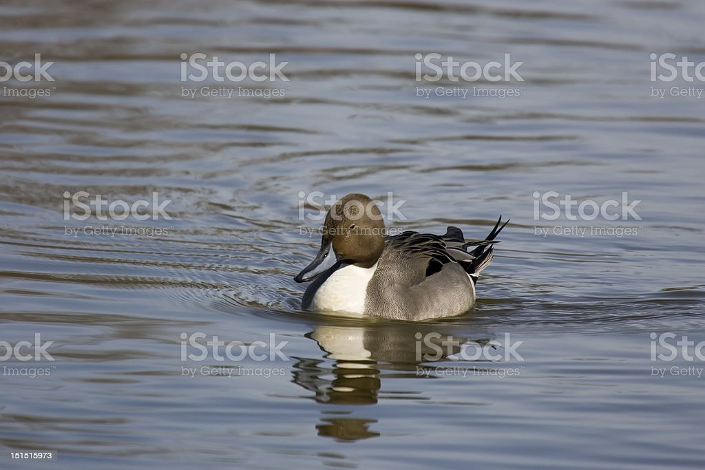 Northern Pintail Duck Cruises in Waterway stock photo