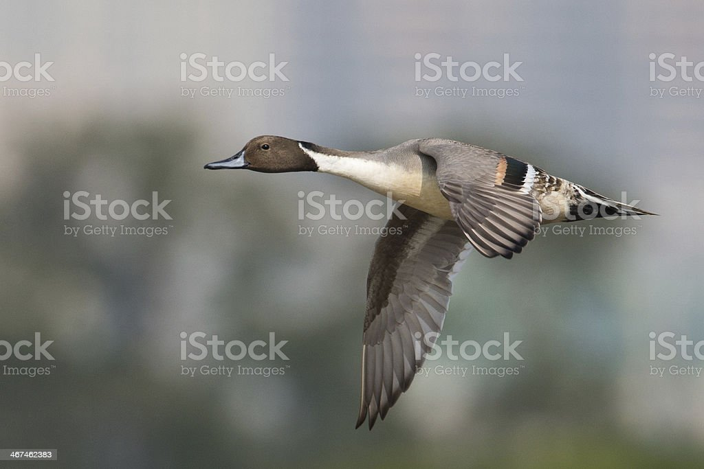 Northern Pintail flying in sky stock photo