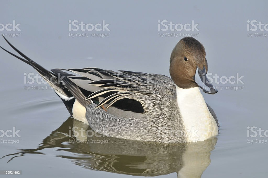 Northern Pintail, royalty-free stock photo