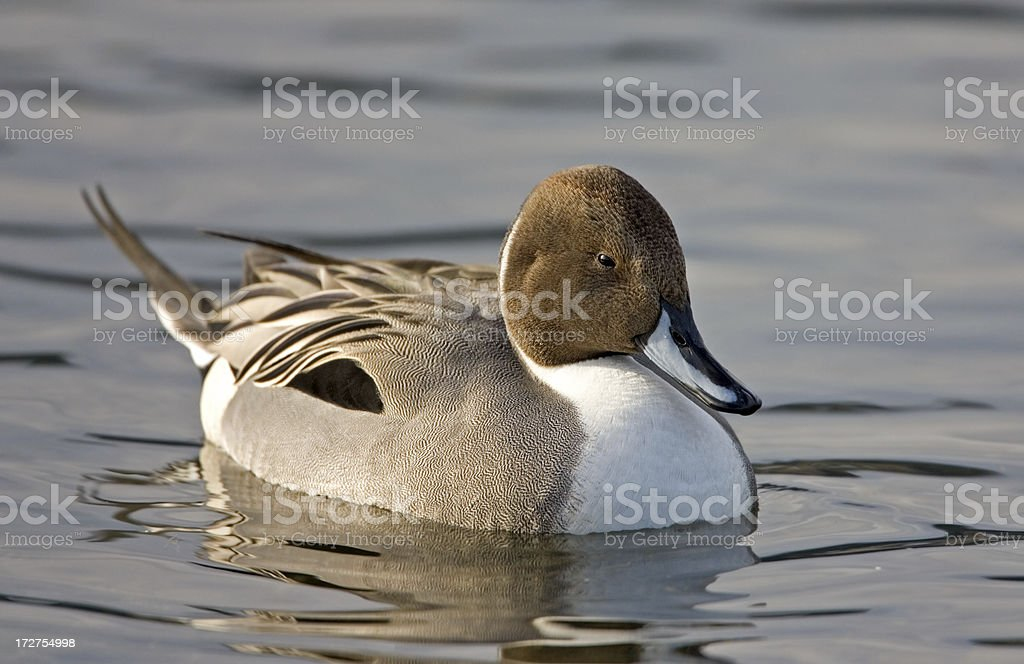 Northern Pintail royalty-free stock photo