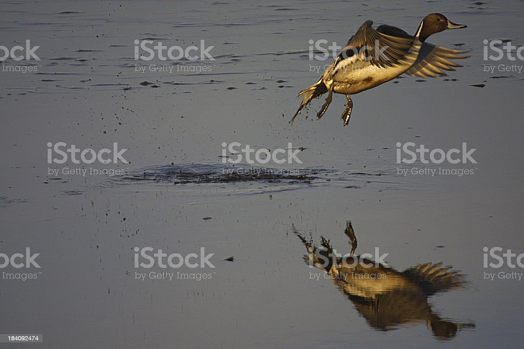 Northern pintail take off royalty-free stock photo