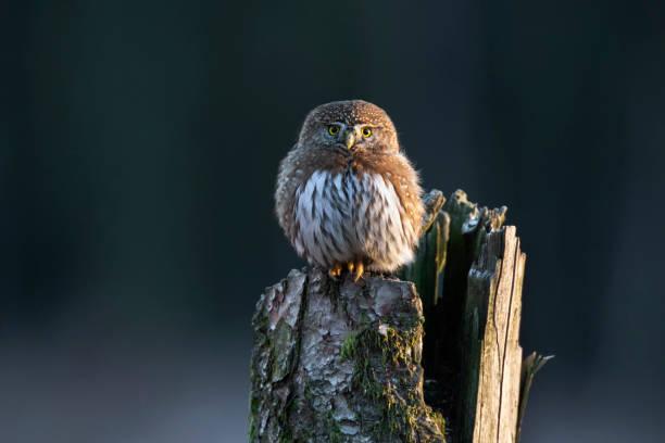 Northern pygmy owl stock photo