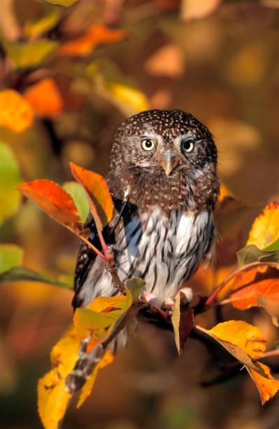 noordelijke pygmee-uil - vogel herfst stockfoto's en -beelden