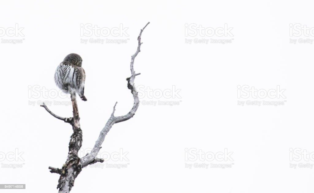 nördlichen Pygmäen-Eule auf Ast mit weißem Hintergrund – Foto