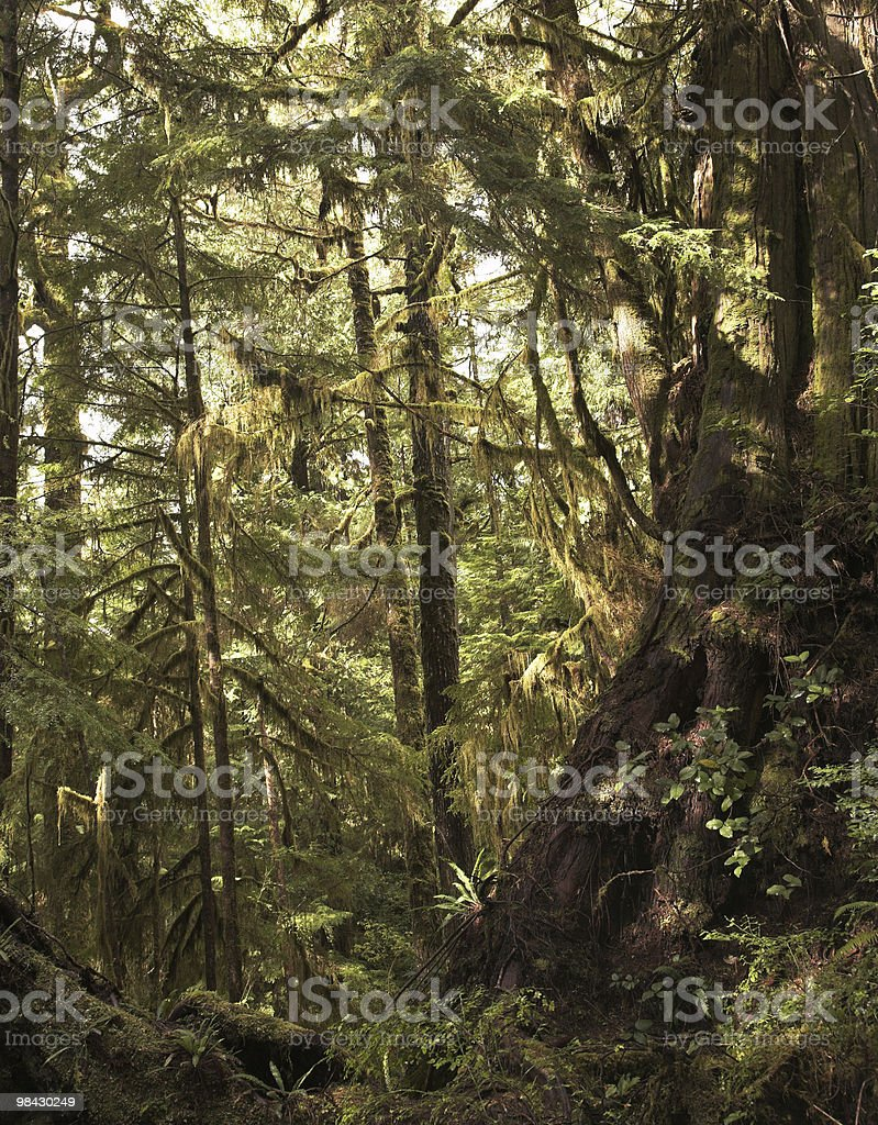 "Northern ""Rainforest"" on island Vancouver royalty-free stock photo"
