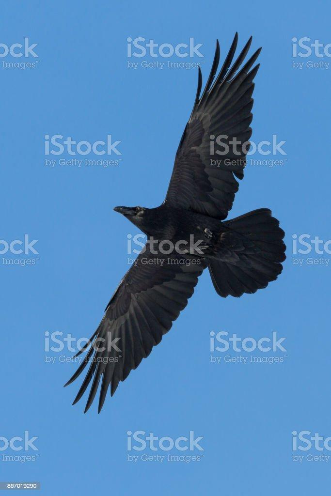 nördlichen Rabe (Corvus Corax) im Flug mit blauem Himmel – Foto