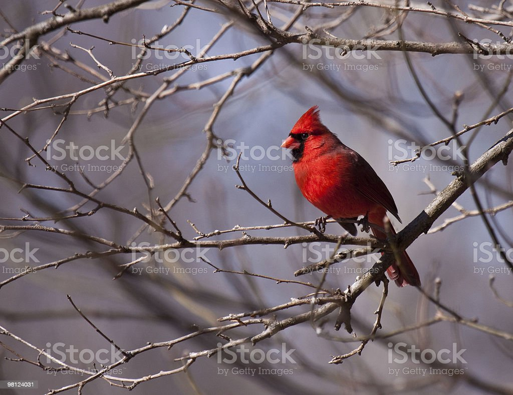 Northern Red  Cardinal on Branch royalty-free stock photo