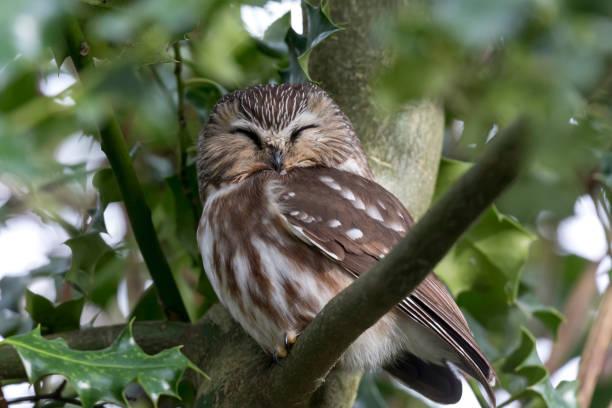 northern saw whet owl stock photo