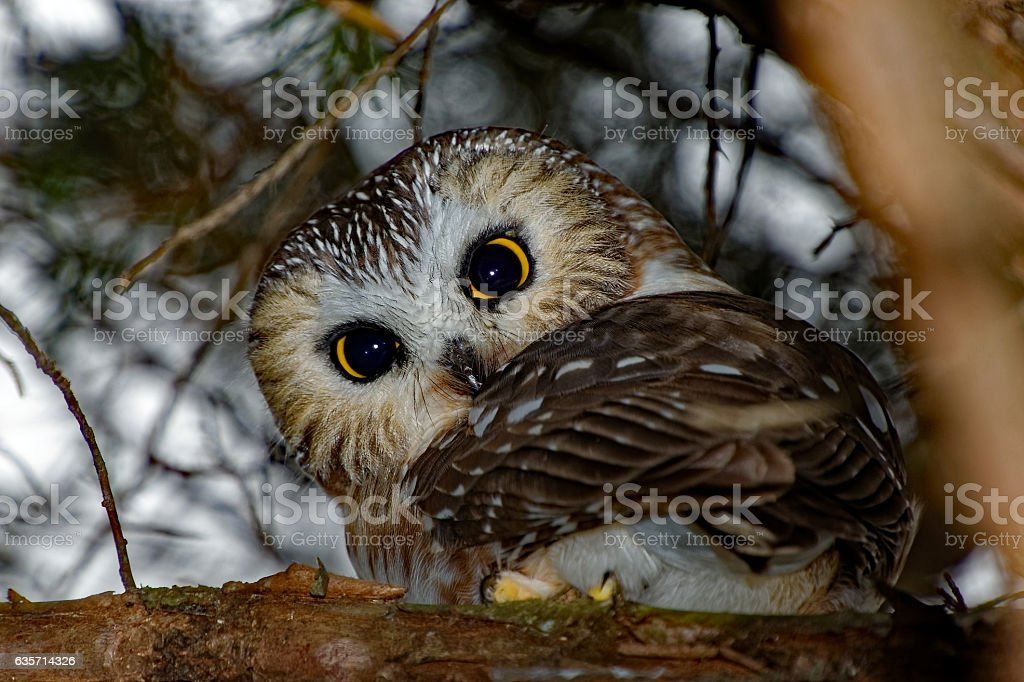 Northern Saw-whet Owl in a Tree royalty-free stock photo