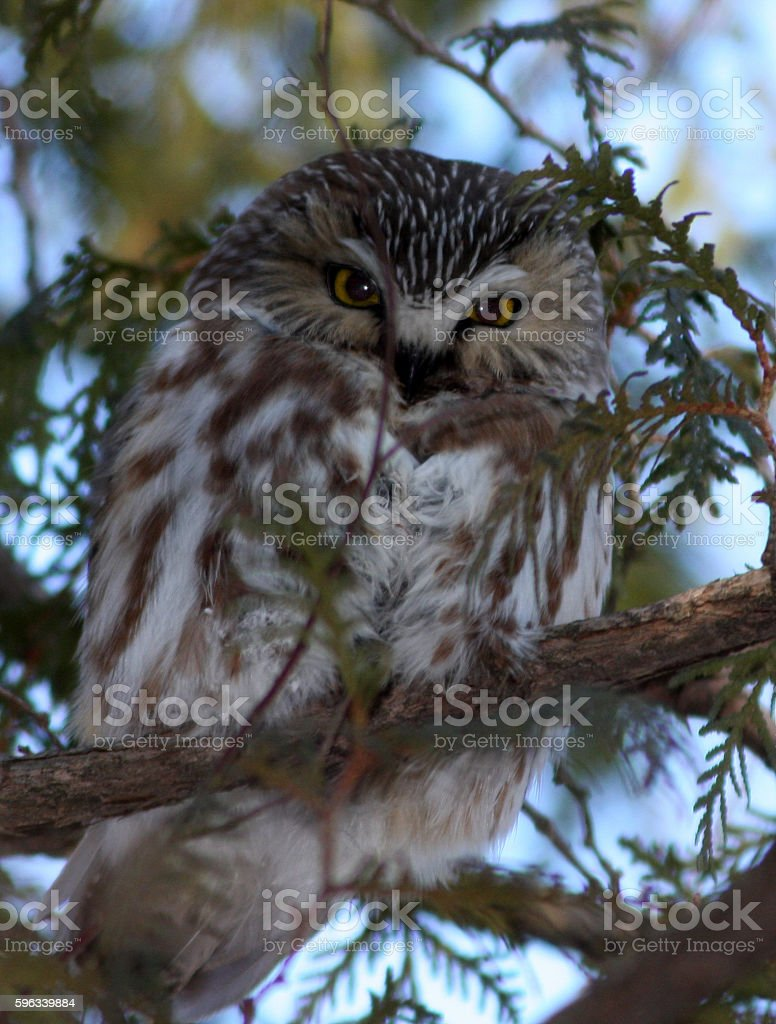 Northern Saw-whet Owl royalty-free stock photo