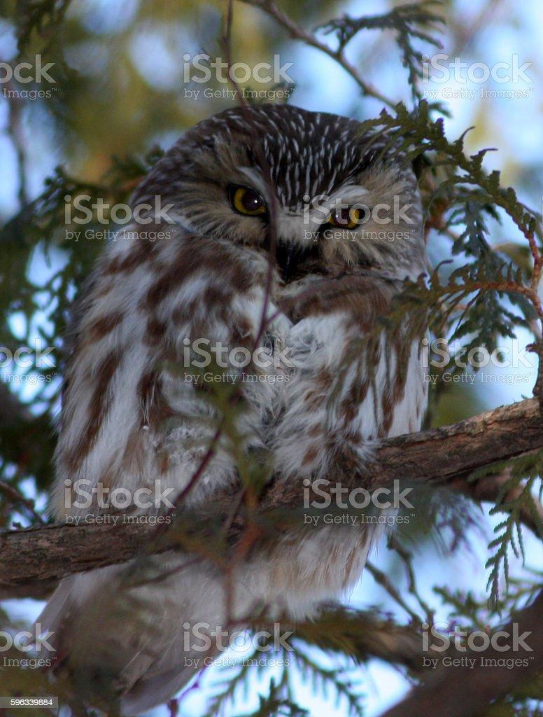 Northern Saw whet Owl Lizenzfreies stock-foto