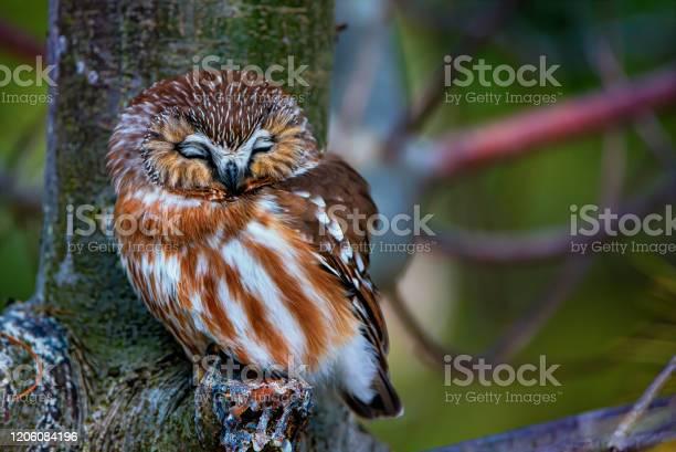 Photo of Northern Saw-whet Owl Sleeping