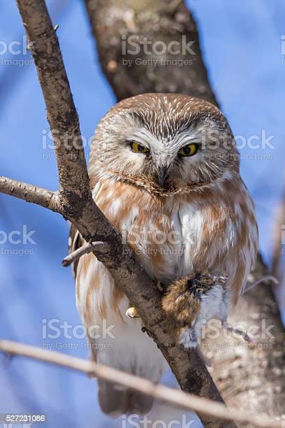 Northern sawwhet owl whit mouse picture id527231086?b=1&k=6&m=527231086&s=612x612&h=wlrcffh pbp96ya0f p8rlj r13z4panqd corudsf8=