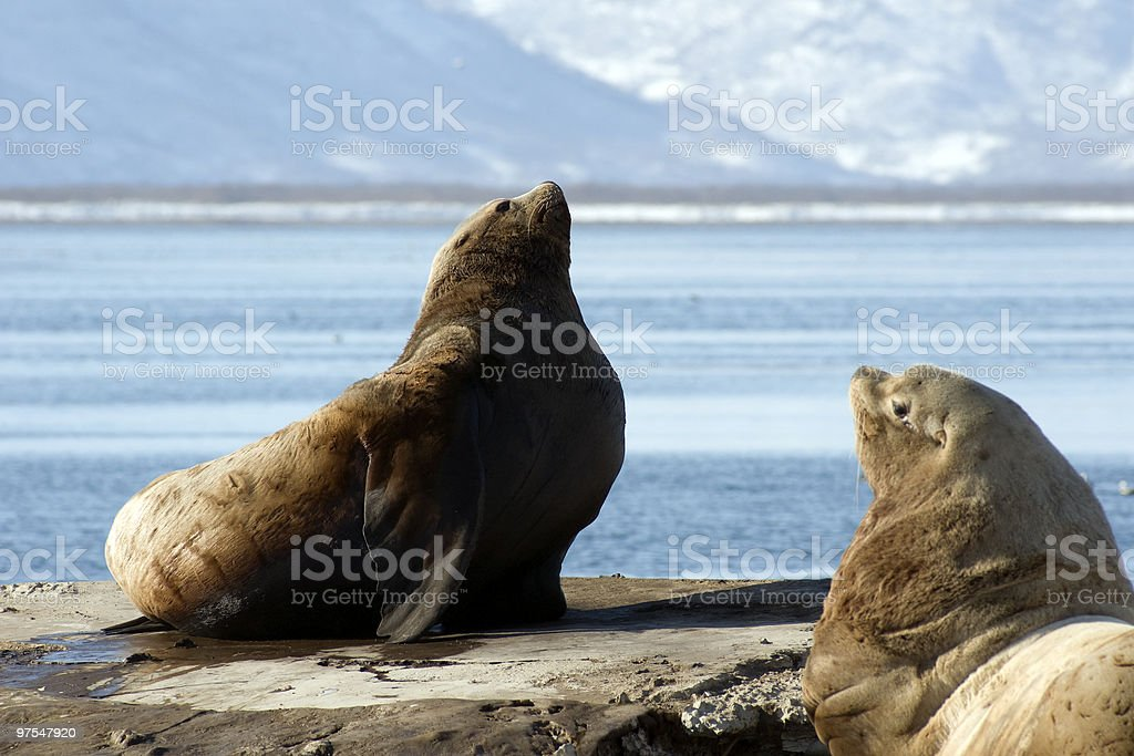 Northern sea-lion. royalty-free stock photo