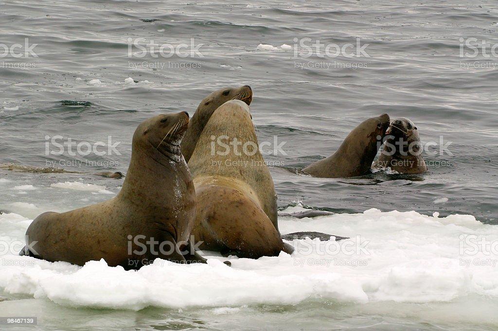 Un leone di mare del Nord. foto stock royalty-free