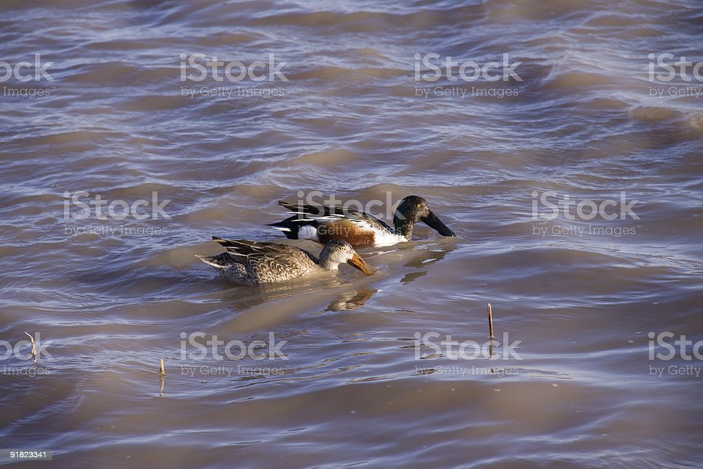 Northern Shoveler couple feeding stock photo