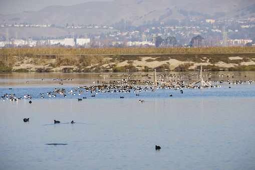 istock Northern Shoveler ducks resting in the waters of south San Francisco bay, Alviso, San Jose, Santa Clara county, houses and buildings from Fremont in the background; California 1094283714