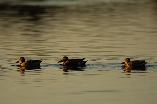 istock Northern shoveler ducks swimming in water at morning 1209154384