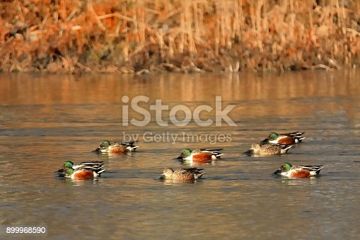A small group of Northern Shoveler, Anas clypeata, feeding in the Berlin , Maryland water park as the arctic cold has driven the ducks south to open water