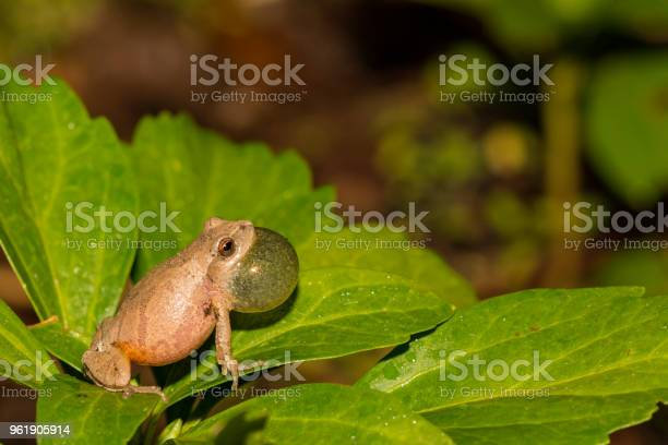 Photo of Northern Spring Peeper