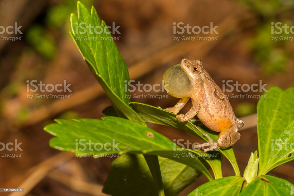 Northern Spring Peeper stock photo