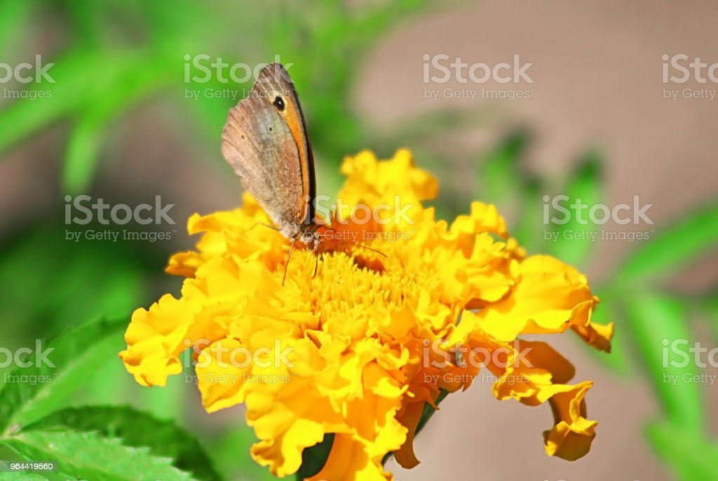 Noordelijke muur bruine vlinder (Lasiommata petropolitana) op de Goudsbloem bloem - Royalty-free Achtergrond - Thema Stockfoto
