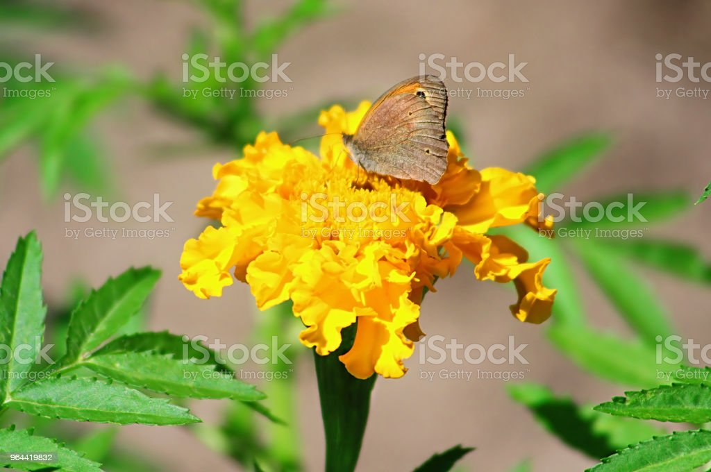 Northern Wall Brown butterfly (Lasiommata petropolitana) on the marigold flower - Royalty-free Animal Body Part Stock Photo