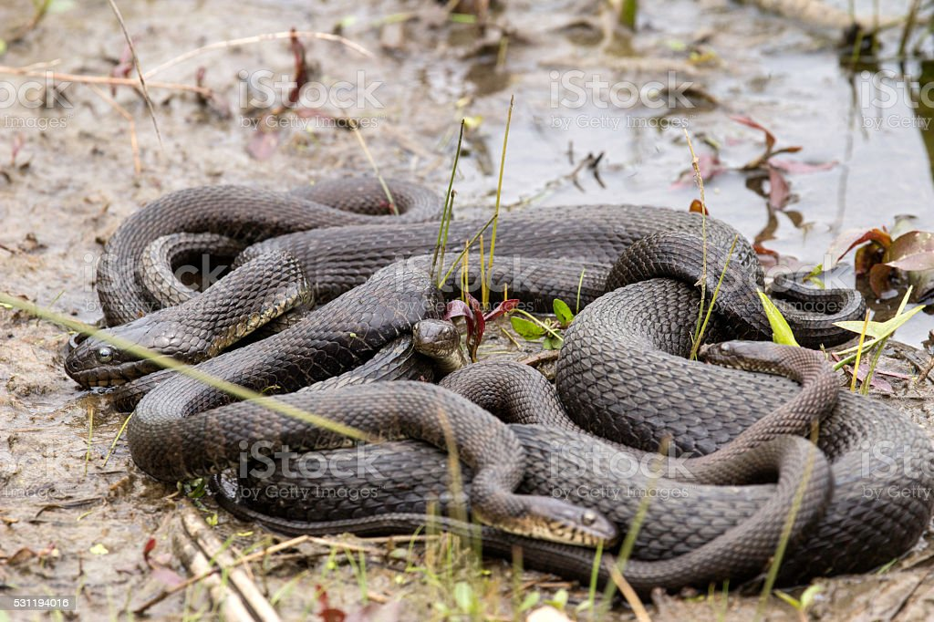 Northern Water Snake Mating Ball stock photo