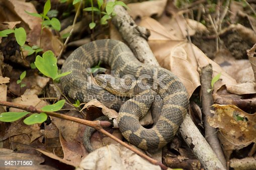 A Northern water snake on a forest floor.