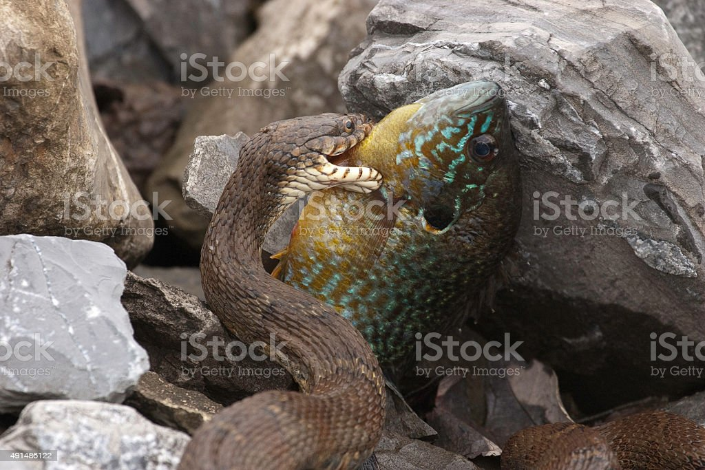 Northern Water Snake with a Bluegill Fish stock photo