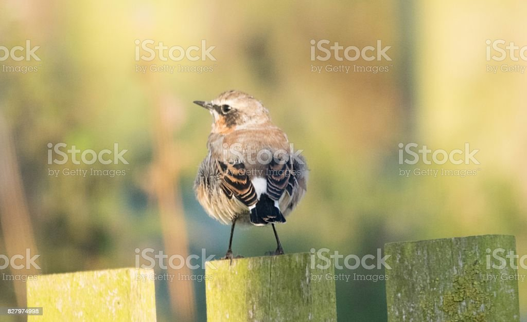 northern wheatear bird close up stock photo