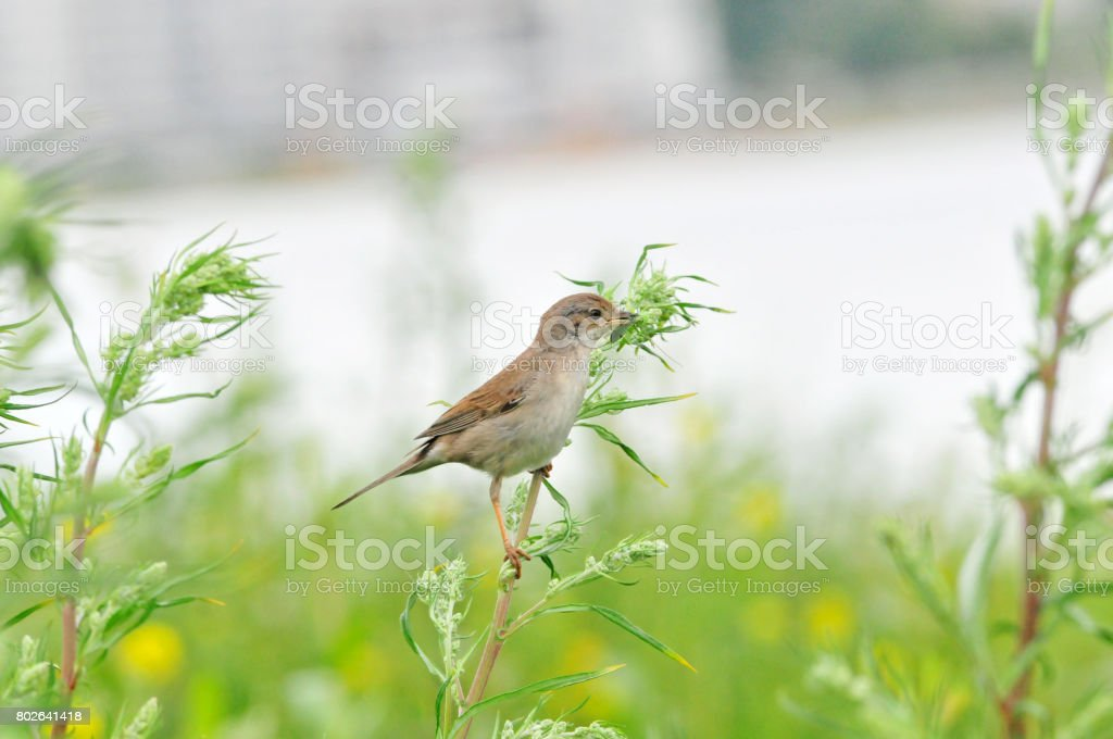 Northern wheatear, bird, female. Bird of the flycatcher family. The bird made a nest on the stony bank of the river. stock photo