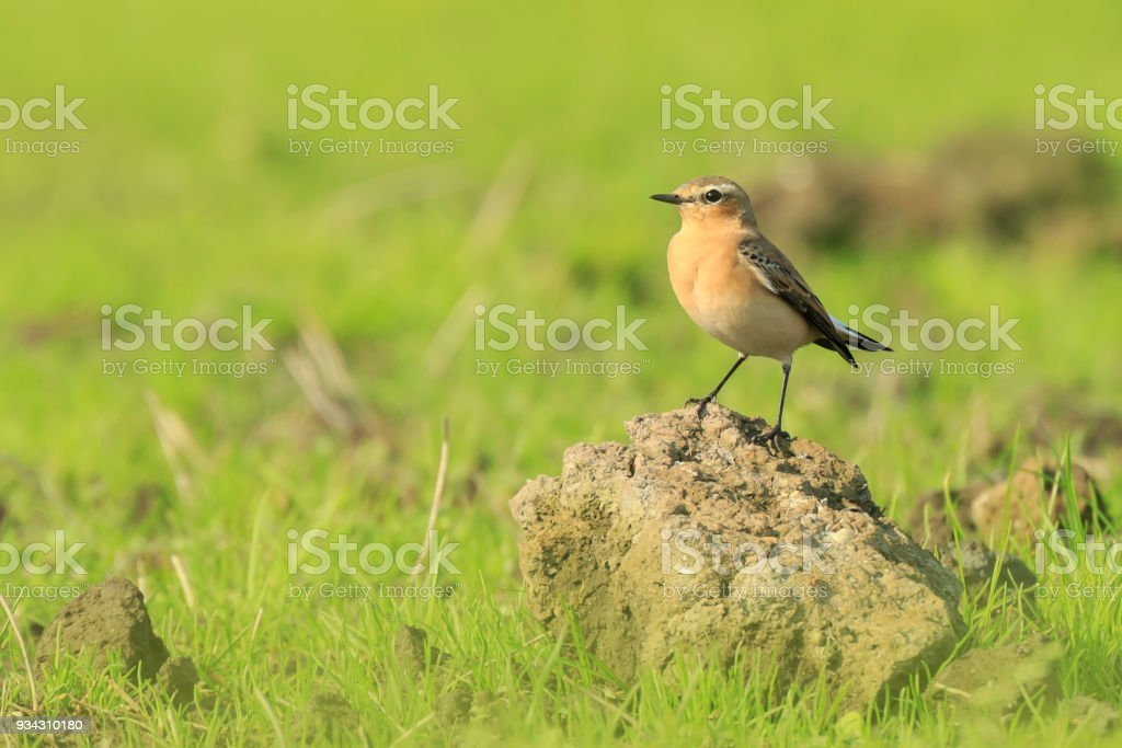 northern wheatear (Oenanthe oenanthe) bird resting on grassland stock photo