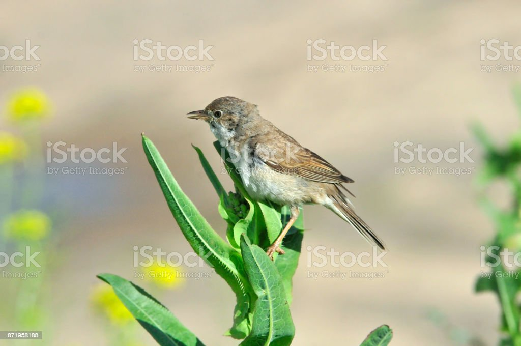 Northern wheatear, nestling, young bird. Bird of the flycatcher family. stock photo