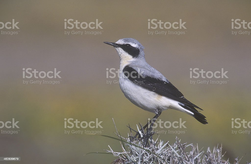 Northern wheatear, Oenanthe oenanthee stock photo