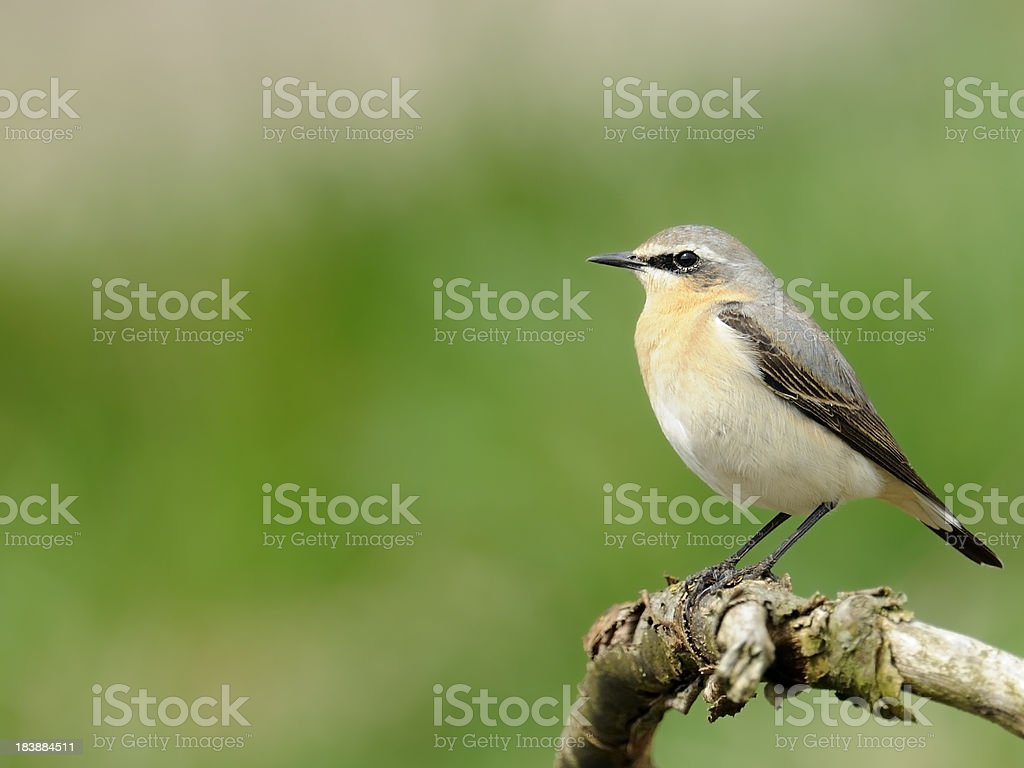 Northern Wheatear on a branch stock photo