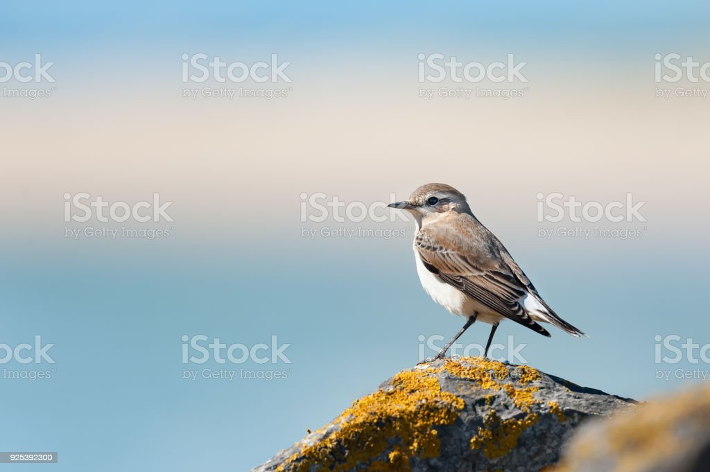 A northern wheatear standing on a rock stock photo