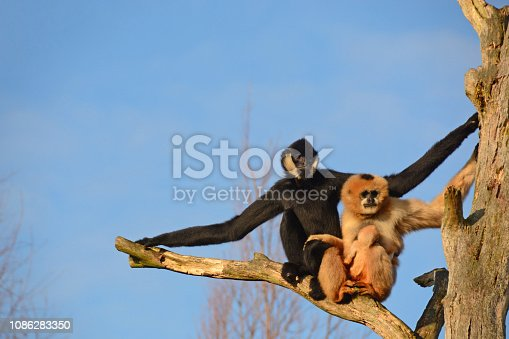 Newborn Gibbon( Nomascus leucogenys ) lifting on the female Northern white-cheeked gibbon .Males have black fur and white spots on the face.