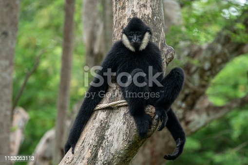 Nomascus leucogenys is a critically endangered species of gibbon native to Southeast asia.