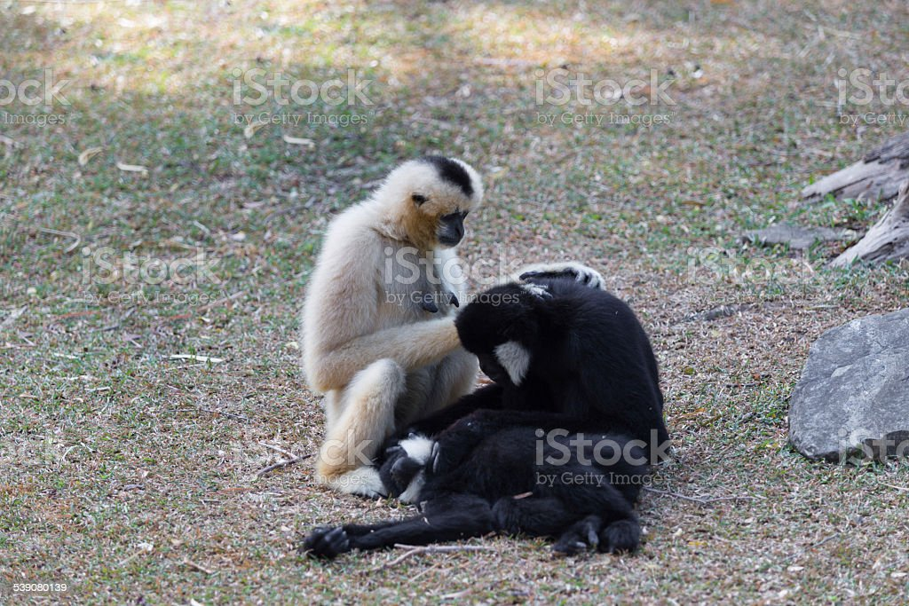 Northern white-cheeked gibbon playing with each other stock photo