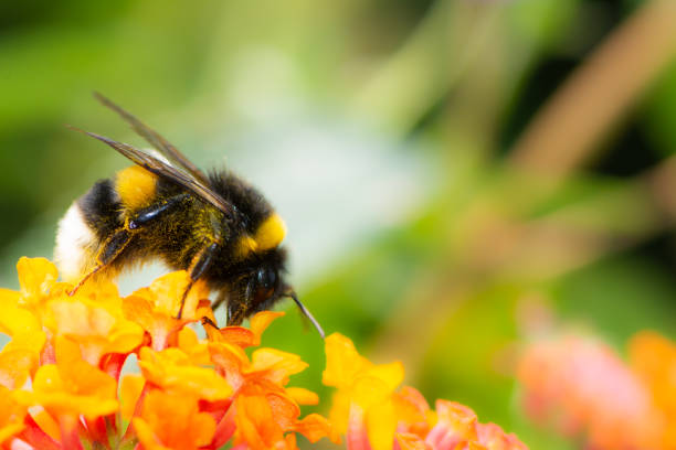 Northern white-tailed bumblebee on a lantana flower