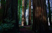 Northwest California's Redwood National Park.\nJed Smith Redwoods State Park.\nThe Stout Grove.