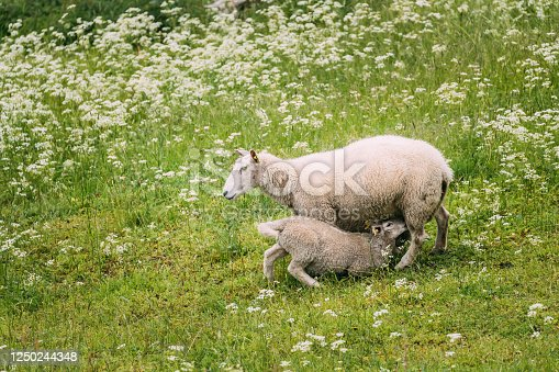Norway. Domestic Mother Sheep Feeds Lambs With Breast Milk. Lambs Suck Sheep s Mother s Milk. Sheep And Lambs Feeding In Hilly Norwegian Pasture. Spring Green Meadow. Sheep Farming.