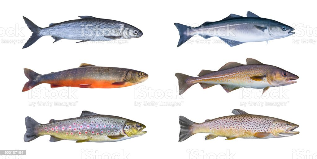 Norway fish set. Whitefish, arctic char, brook brown trout, pollock fish, coalfish, saithe, cod fish isolated on white background stock photo