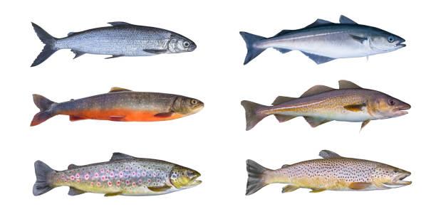 Norwegen-Fisch-Satz. Felchen, Seesaibling, Bach Forelle, Pollock Fisch, Köhler, Seelachs, Kabeljau, isoliert auf weißem Hintergrund – Foto