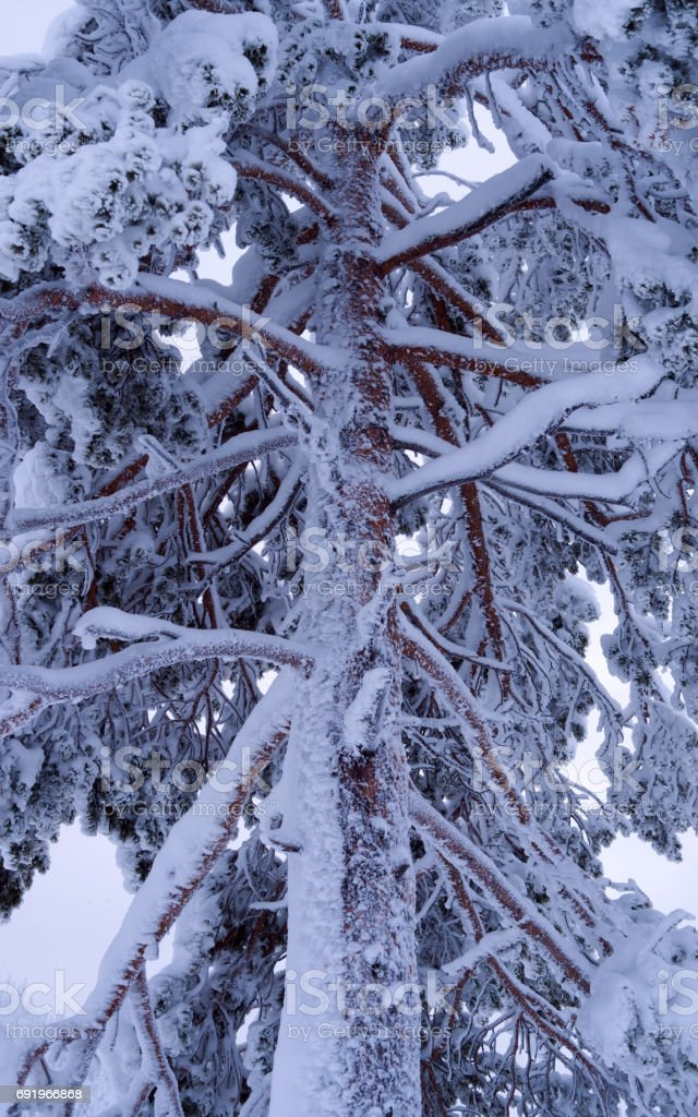 Norway: Iced and snowy coniferous tree stock photo