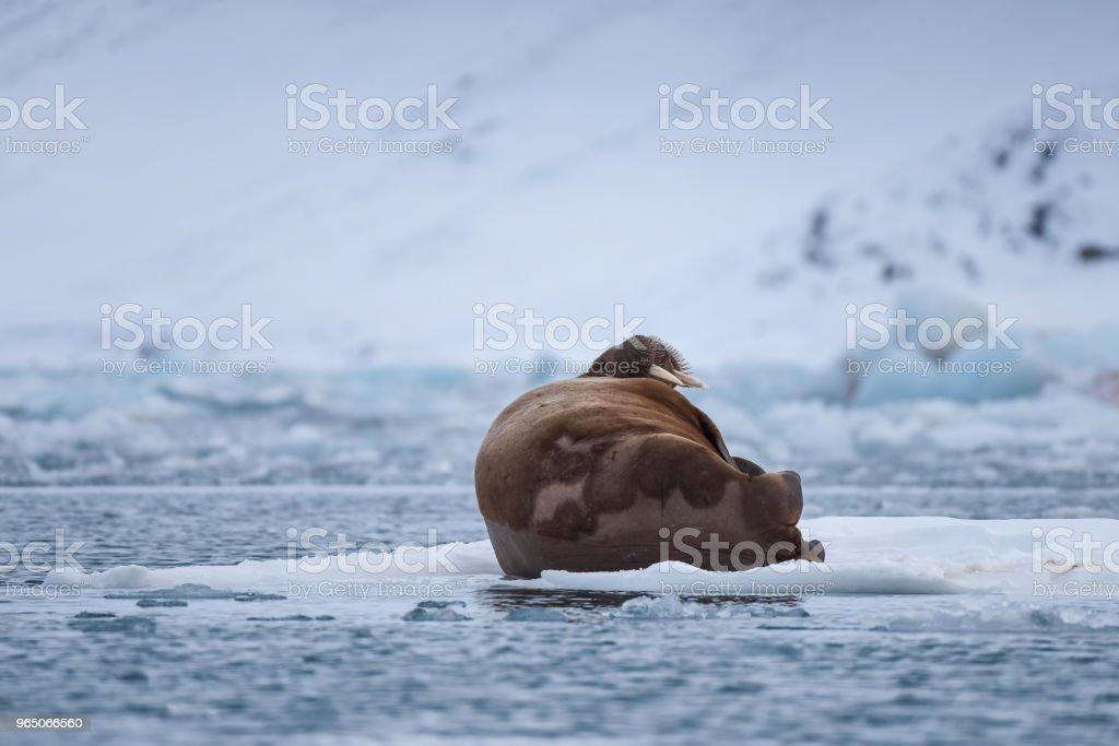 norway landscape nature walrus on an ice floe  of Spitsbergen Longyearbyen  Svalbard   arctic winter  polar sunshine day zbiór zdjęć royalty-free
