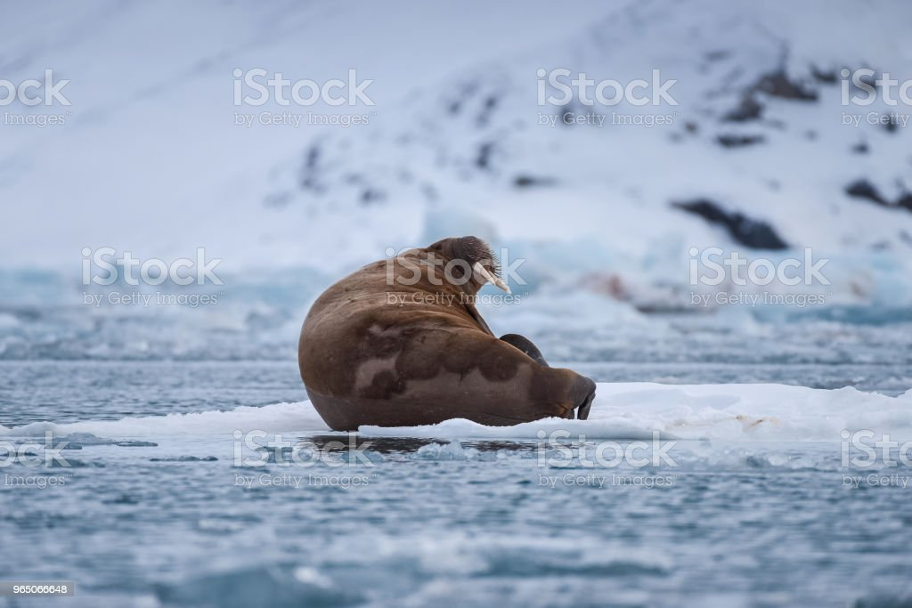norway landscape nature walrus on an ice floe  of Spitsbergen Longyearbyen  Svalbard   arctic winter  polar sunshine day royalty-free stock photo